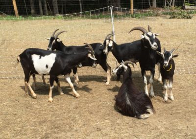 The Goats!